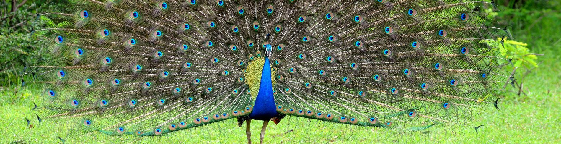 Kaudulla Peacock