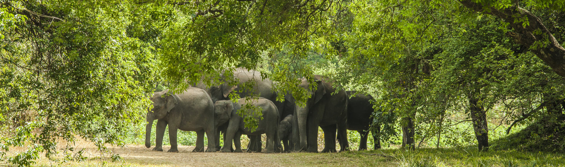 Lahugala elephants