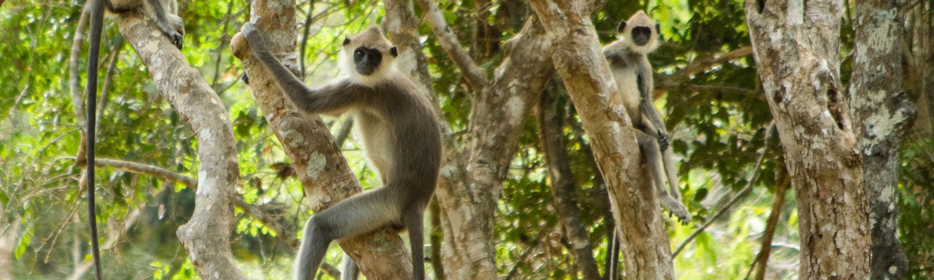 Angammadilla grey monkeys
