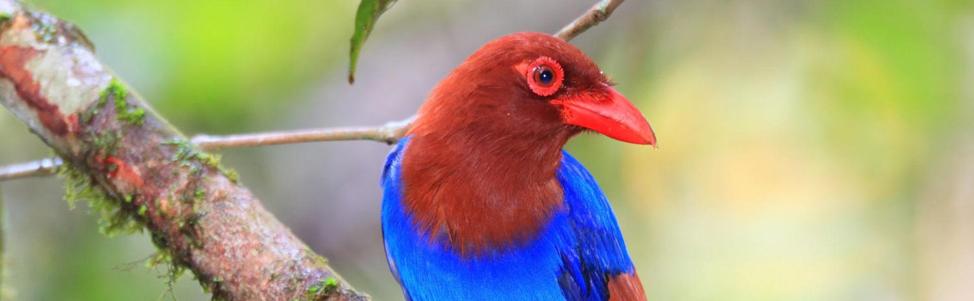 Bundala Ceylon Blue Magpie